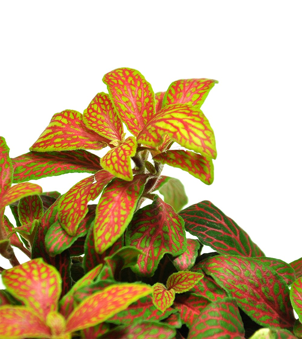 fittonia rouge